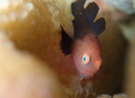 ダルマハゼ幼魚