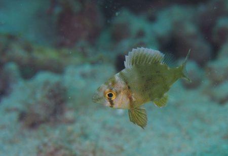 タマメイチ幼魚