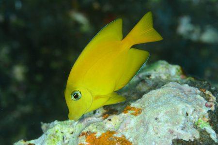 キンリンサザナミハギ若魚