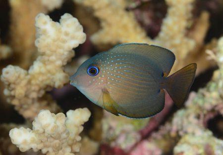 コクテンサザナミハギ若魚