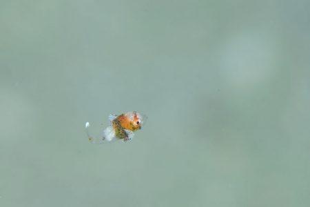 チョウチョウコショウダイ幼魚