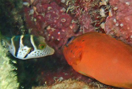 ユカタハタ幼魚とシマキンチャクフグ