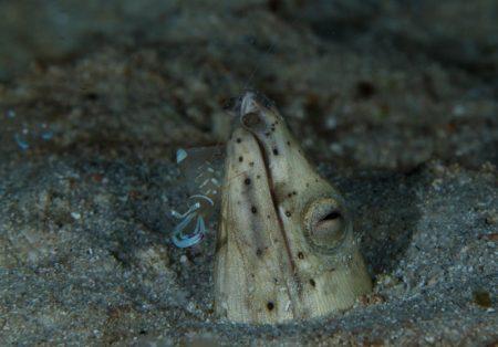 ミナミホタテウミヘビとオドリカクレエビ