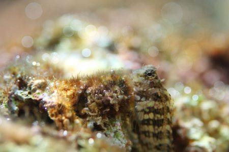 ヤエヤマギンポ幼魚