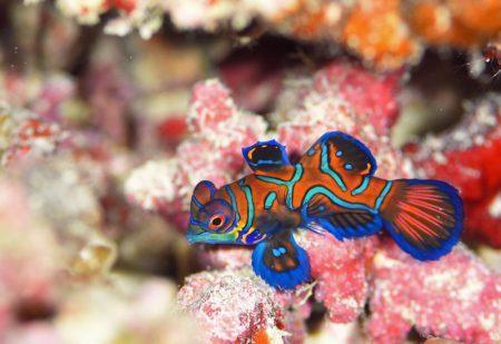 ニシキテグリ幼魚