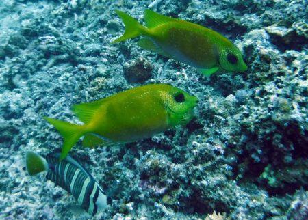 サンゴアイゴ