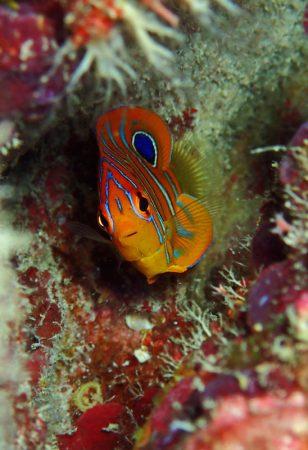 ニシキヤッコ幼魚