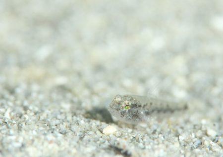 ホシハゼ幼魚