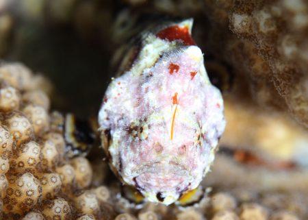 カエルアンコウモドキ