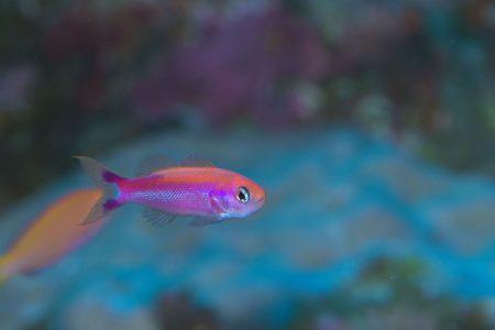 オレンジストライプ・ピグミーバスレット(Luzonichthys taeniatus)