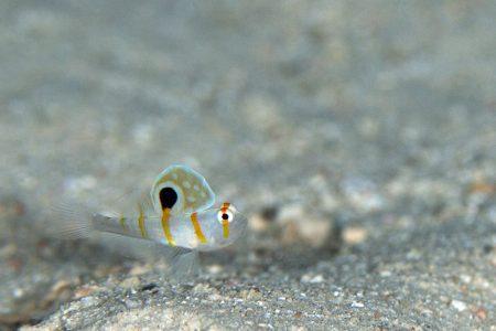 ニチリンダテハゼ幼魚