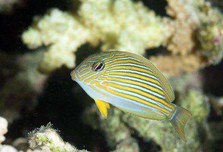 ニジハギ幼魚