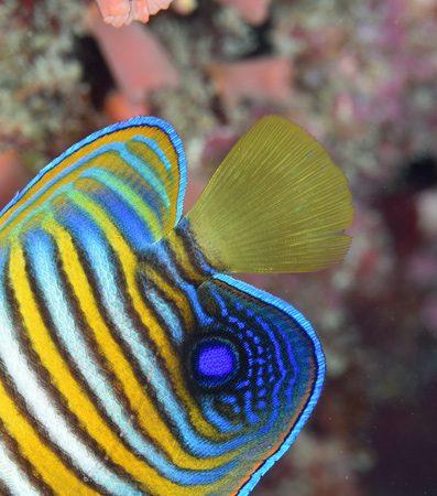 ニシキヤッコ若魚