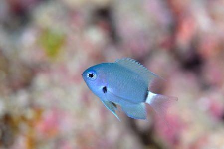 デルタスズメダイ幼魚