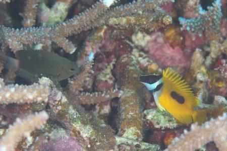 ソラスズメダイspとヒフキアイゴ幼魚