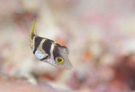 シマキンチャクフグ幼魚