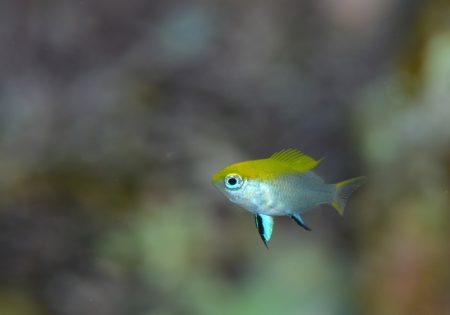 クロスズメダイ幼魚