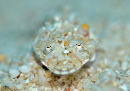 スナゴチ幼魚