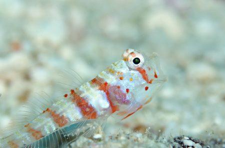 クビアカハゼ幼魚