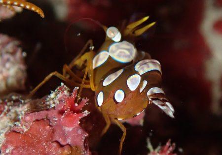 イソギンチャクモエビの卵