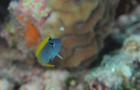 オウゴンニジギンポ幼魚