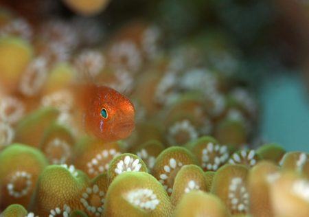 フタイロサンゴハゼ幼魚?