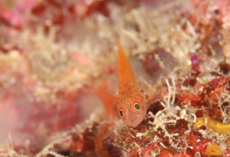 オオメハゼ幼魚