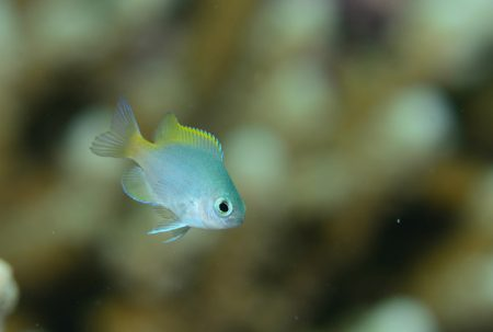 アサドスズメダイ幼魚