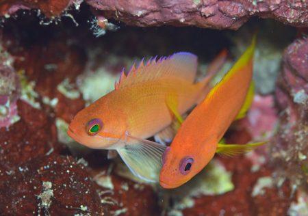 ケラマハナダイとユカタハタ幼魚