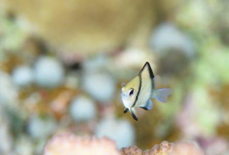 フタスジリュウキュウスズメダイ幼魚