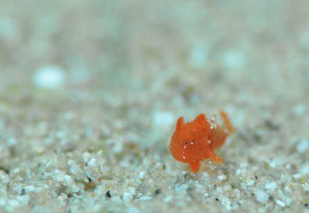オオモンカエルアンコウ幼魚