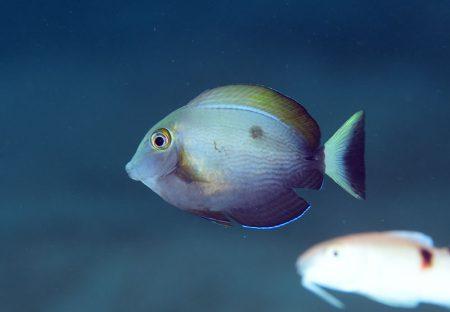 ヒラニザ若魚