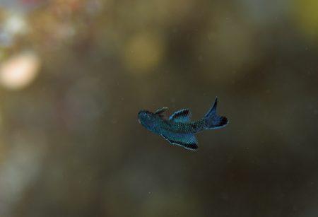 ツバメタナバタウオ幼魚