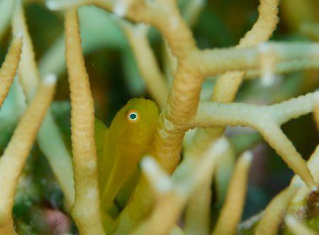 アカネダルマハゼ幼魚