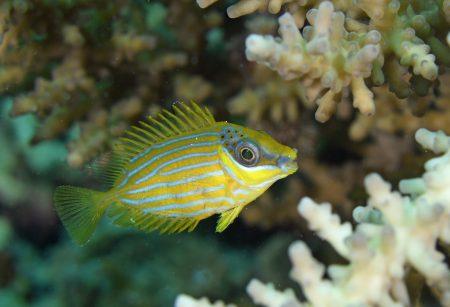 ヒメアイゴ幼魚
