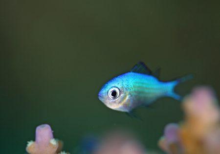 デバスズメダイ幼魚