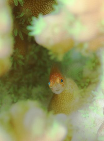 フタイロサンゴハゼ幼魚