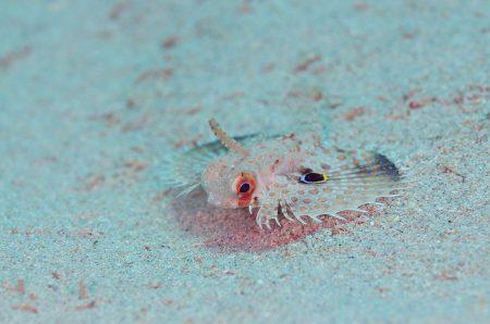 セミホウボウ若魚