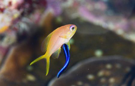 キンギョハナダイ若魚