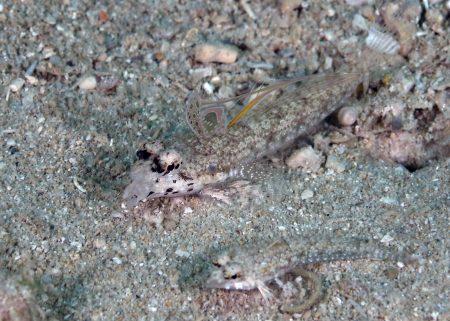 コガタハナビヌメリ