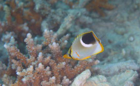 セグロチョウチョウウオ若魚