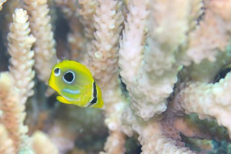 ウミツキチョウチョウウオ幼魚