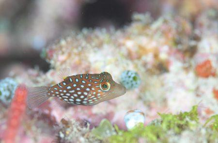 シボリキンチャクフグ幼魚