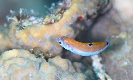 オトメベラ幼魚