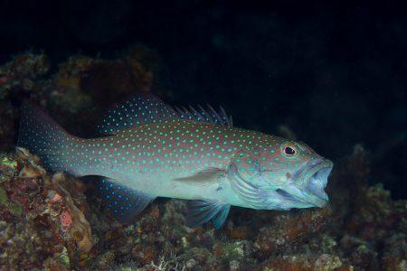 スジアラ若魚
