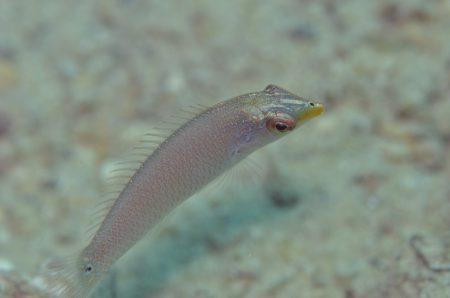 ミツボシキュウセン幼魚