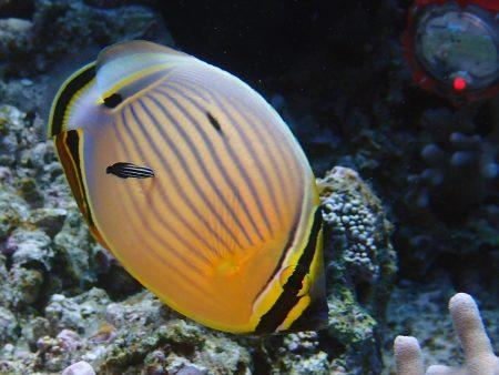 ミスジチョウチョウウオとミヤケベラ幼魚