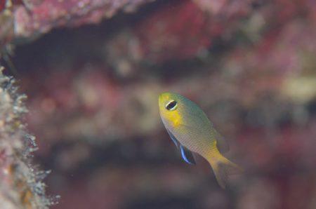 コビトスズメダイ幼魚