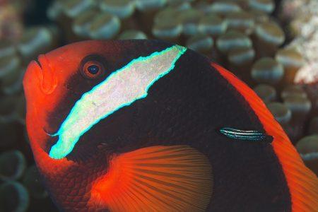 ハマクマノミ&ミヤケベラ幼魚