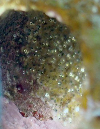 エリグロギンポの卵